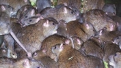 6.8 million rats make KL their home!