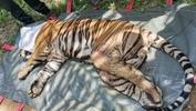 Harimau belang ditangkap di Dungun, Perhilitan temui kecederaan akibat ditembak
