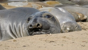 Scientists have conducted the most thorough study to date of the unique feeding behavior of northern elephant seals.
